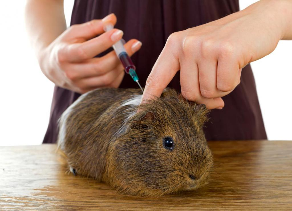 Лечение грызунов (кроликов, морская свинка, песчанка, хорьков, крыс, мышей) в городе Шатура Московской области
