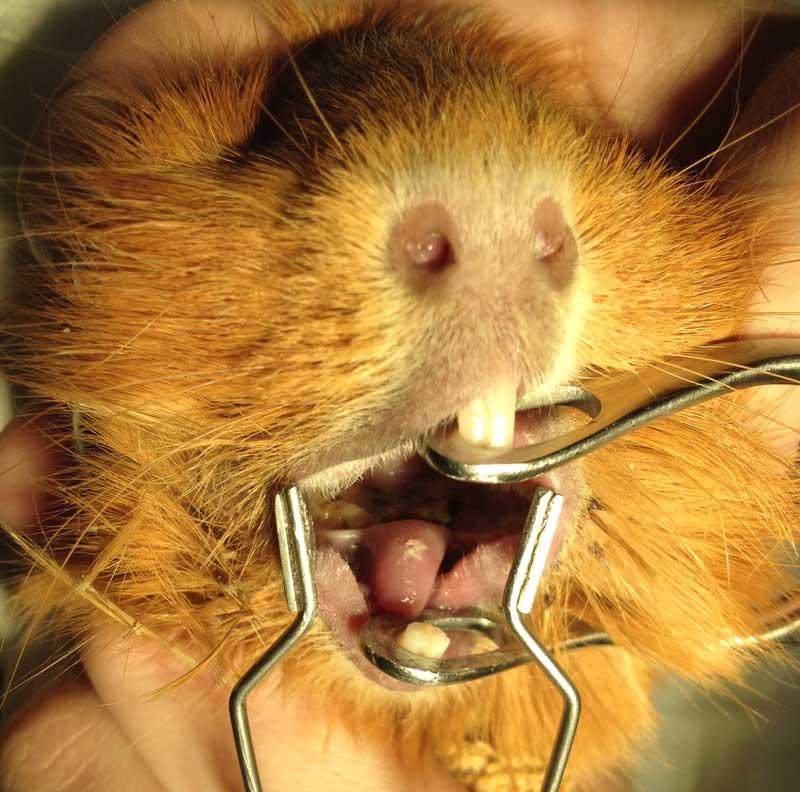 Подрезание зубов у морской свинки в городе Шатура