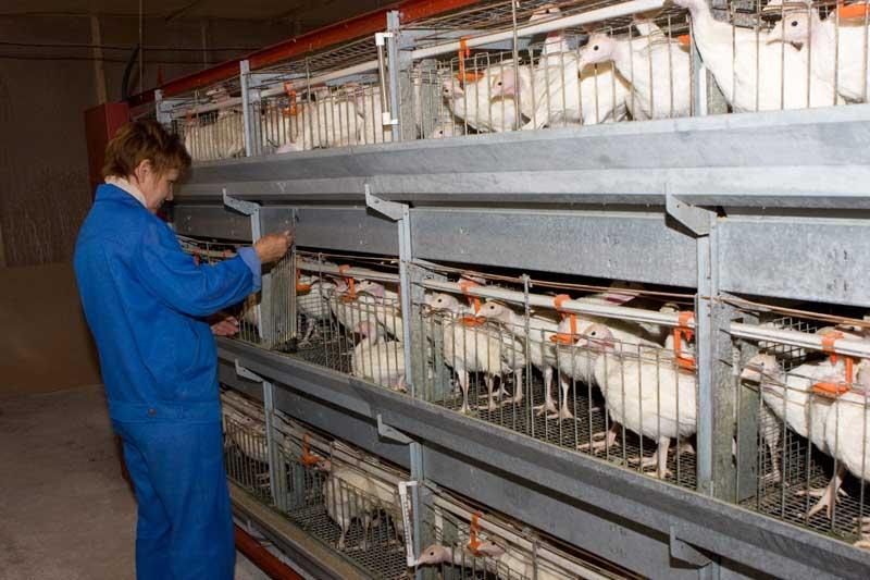 Лечение кур, цесарок, индюков, перепелок, голубей, гусей, уток Шатуре и Шатурском районе